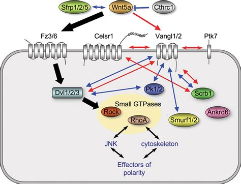 File:Non-canonical Wnt signaling
