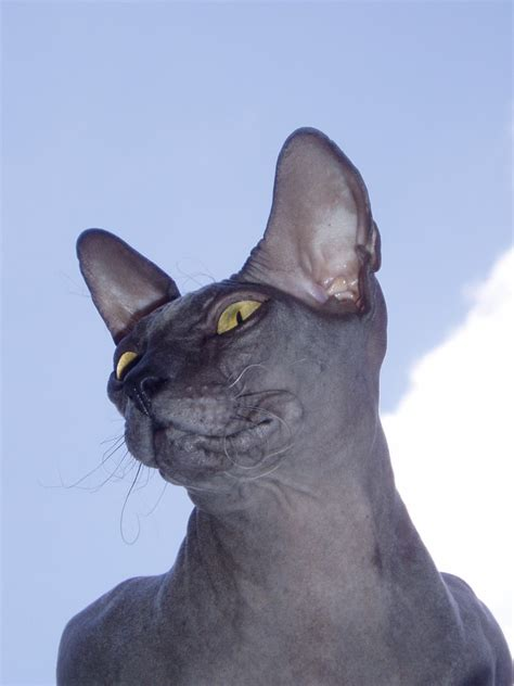 Donskoy or Don Sphynx - Information, Health, Pictures