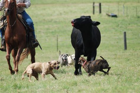 blackmouth cur cow dogs   Leonard Cattle Company Cattlemen