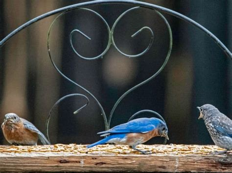 Best Bluebird Feeders To Attract These Adorable Blue Birds