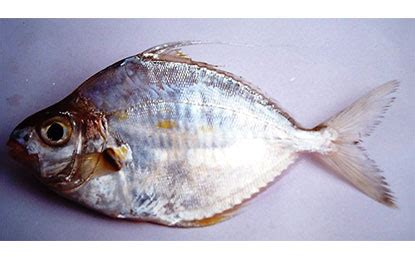 Silver bellies & Pony fish   Seafood India