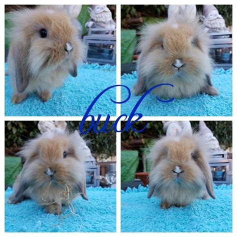beautiful mini lion lop baby ready to leave now | in