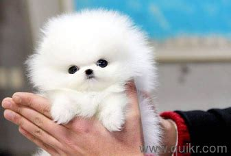for adoption show quality teacup pomeranian puppies pure
