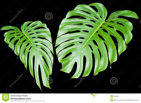 Large Tropical Leaves Stock Photos - Image: 590203