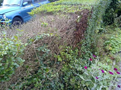 I have a hedge that is gradually dying : Grows on You