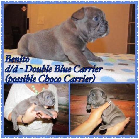 Beautiful AKC French Bulldog Puppies for Sale in Apple