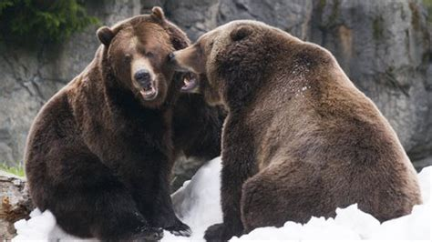 Grizzly vs