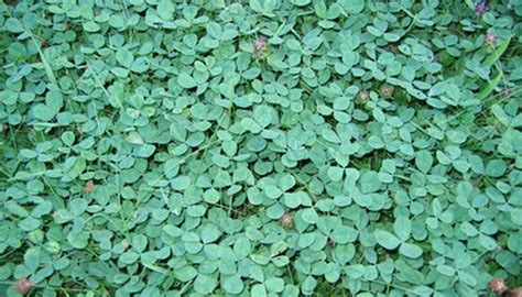 How to Get Rid of Clover Grass on the Lawn | Garden Guides