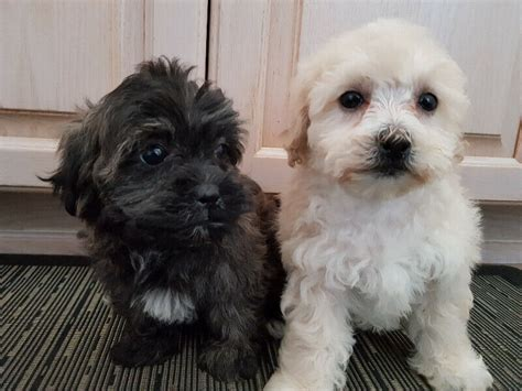 Shih Poo Puppies   Dogs & Puppies for Rehoming   Markham